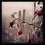 Frozen berries along side Highway 36